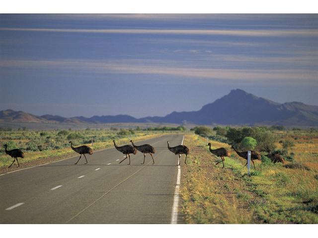 Emus crossing, Flinders Ranges & Outback, South Australia