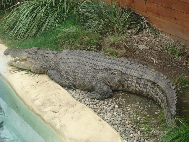 The Giant Croc